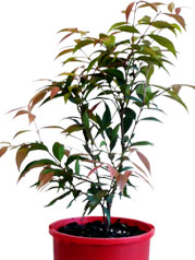 Syzygium-Little-Pilly-PBR-140mm