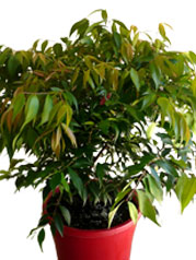 Syzygium-Little-Pilly-PBR-250mm