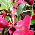 hot-news-mandevilla