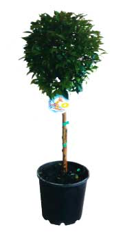 topiary-aussie-boom-200