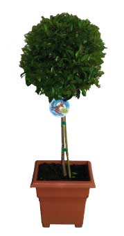 topiary-aussie-boom-220
